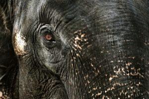Elephant Chamanisme Loup Blanc